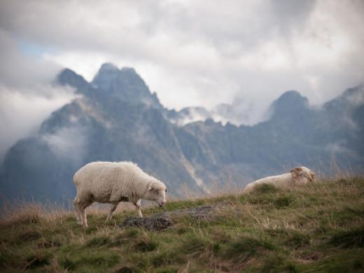 owce na Rusinowej Polanie